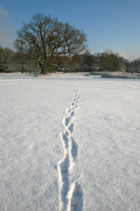 Snow tracks: Tracks through freshly fallen snow in a park in West Sussex, England.