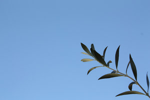 olive branch-02: olive branch and blue sky