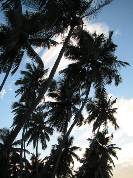 Coconut Tree Silhouette: no description