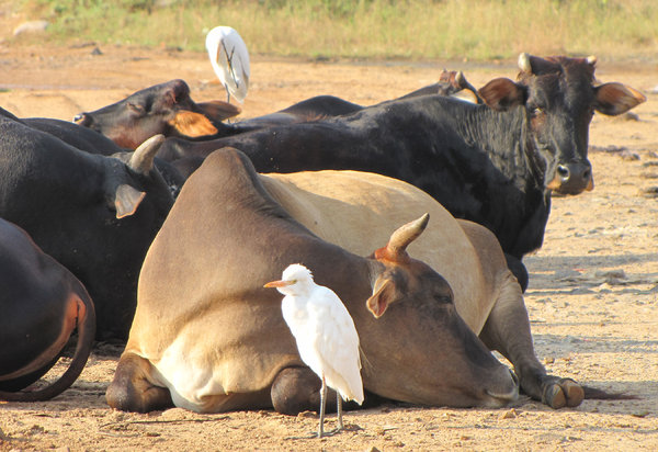 Cattle Egret: The Cattle Egret tags alongside cattle and feeds on the insects & amphibians that get disturbed as the cattle move.