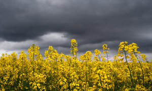 Rapeseed: A field of sunlit  rapeseed/canola beneath a stormy sky.