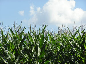 Corn field: A field of corn in Jeziorowskie, Poland.