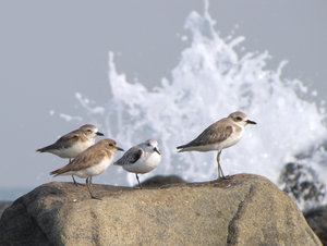 Splash: Kentish Plovers and Sanderlings rest on the rocks after an early breakfast during low tide. As the high tide rises, the stage is set for some spectacular splashes against the rocks.