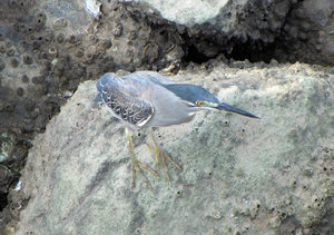 Striated Heron: Little Green also known as the Striated or the Little Heron