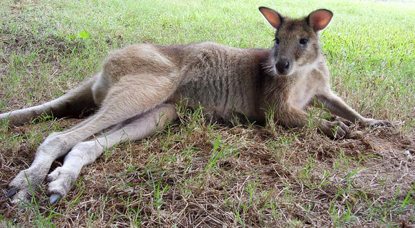 Laid-back Wallaby