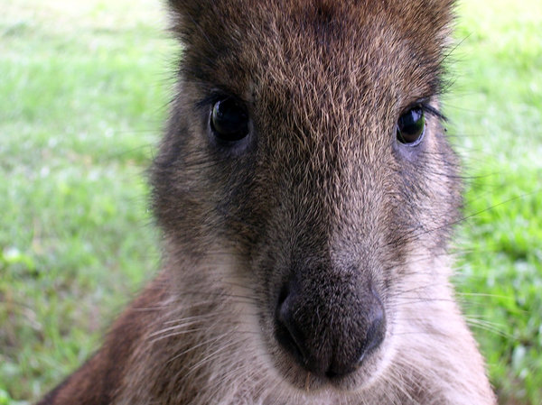 Hooley! 3: An orphaned wallaby now grown up and released but likes to visit now and then.