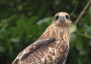 Black Kite: no description