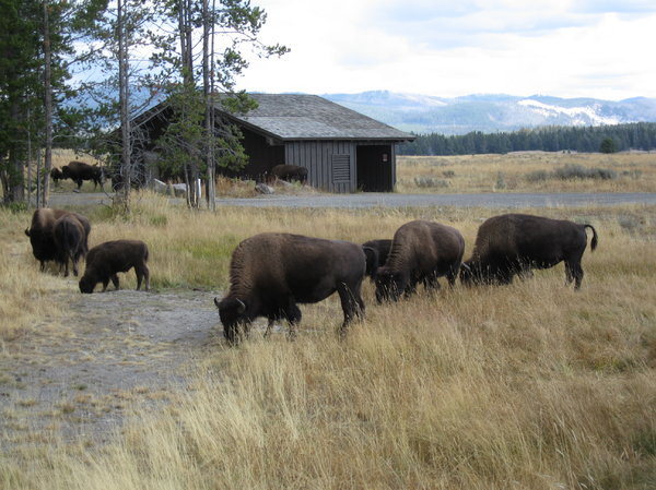 Buffalo herd,Yellowstone