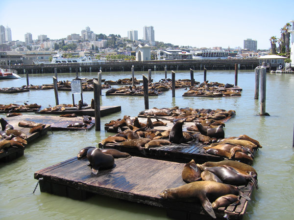 Seals at pier 39, San Francisc