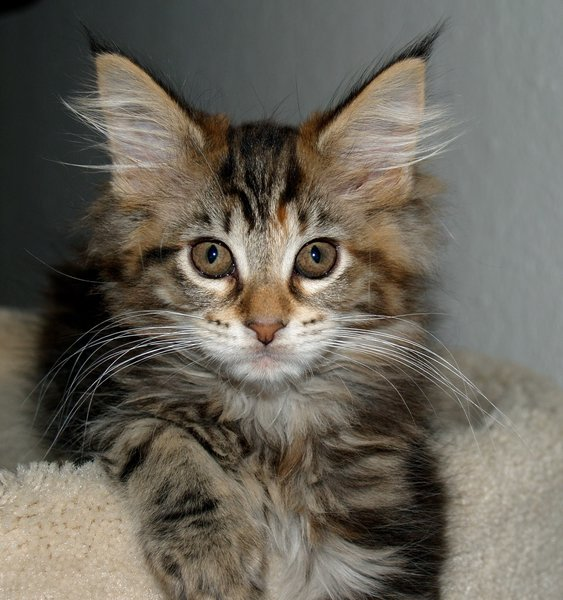 Kittens 3: Maine Coon kittens