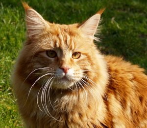 Maine Coon 2: Main Coon cats. The golden is a male.