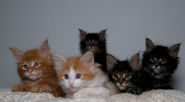 Kittens: A full litter of Maine Coons (6 weeks old)