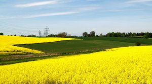 Rape field and power lines