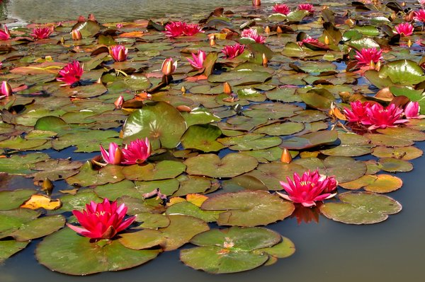 Waterlily - HDR