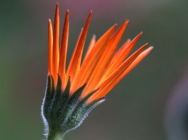Orange margerit