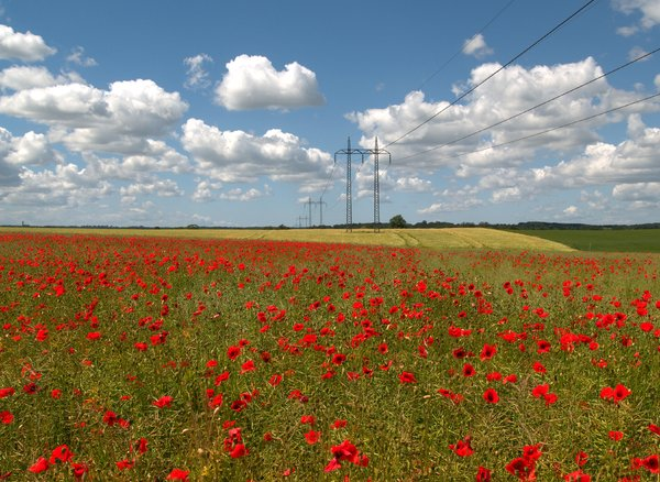 Poppy field: No description