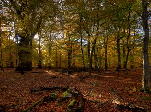 Forest bed - HDR: Autumn forest with burning colors. The picture is HDR using 5 pictures.