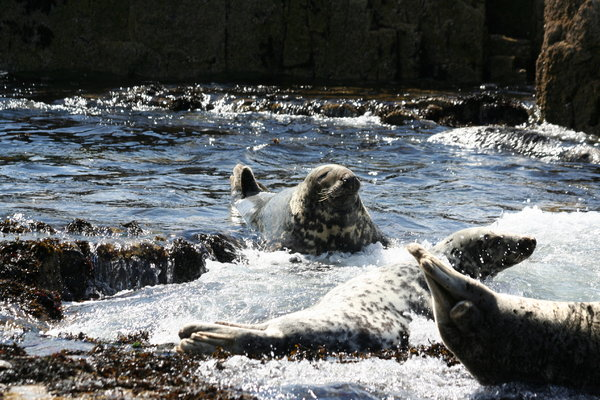 Atlantic Grey Seals 1