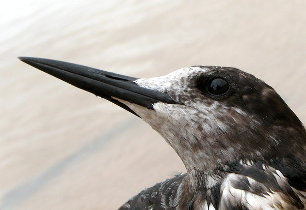 The Sooty Tern: no description