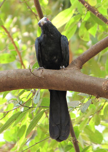 Koel: no description