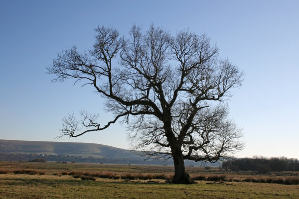 Downland tree