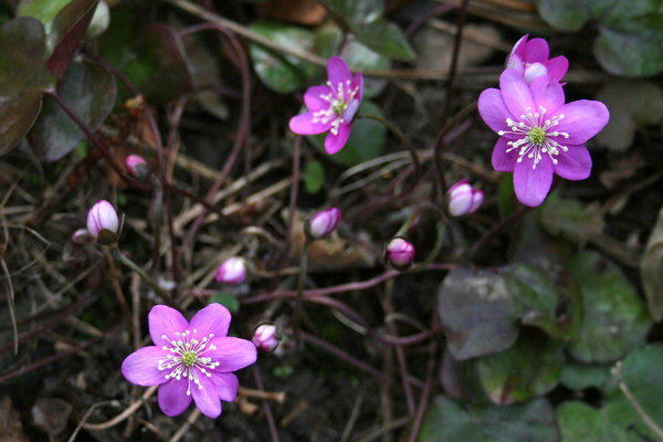 Hepatica: Hepatica in flower in a shady woodland area in a garden in England.