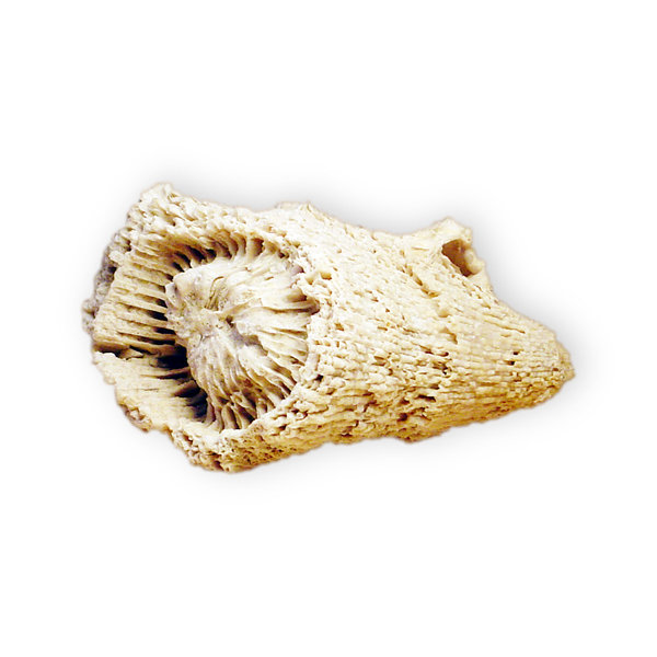 Fossilized shell