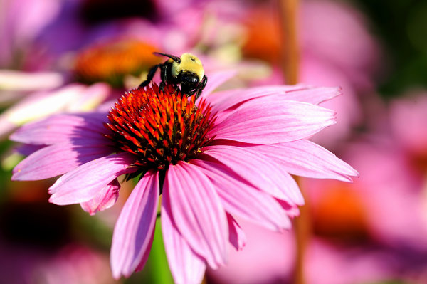 Honey Bee & FLower 1