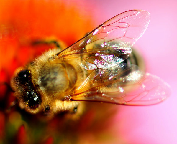 Honey Bee & FLower 4