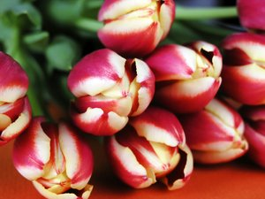 Tulips: bunch of tulips