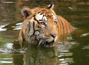 Tiger in a Pool