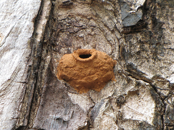 Potter Wasp Nest