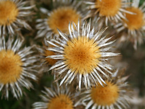 Thistle heads