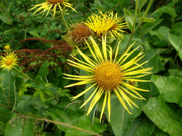 Elecampane: Inula helenium is a wild relative of the sunflower