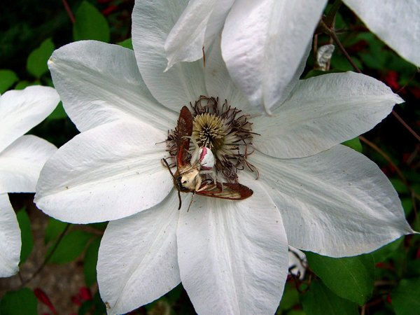 crab spider eating moth
