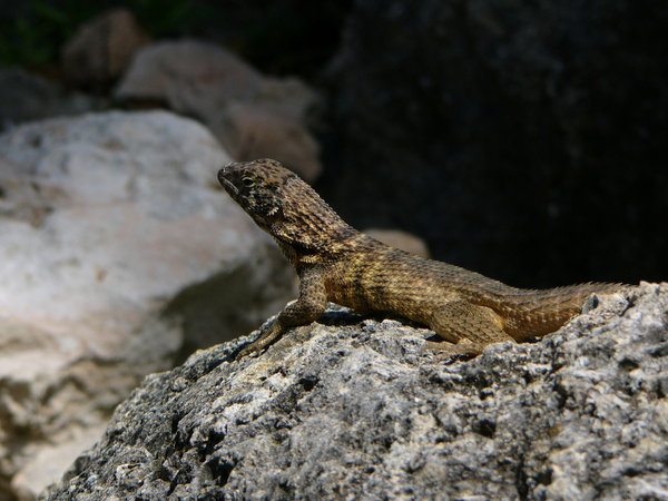 Cuban curly-tailed lizard 2