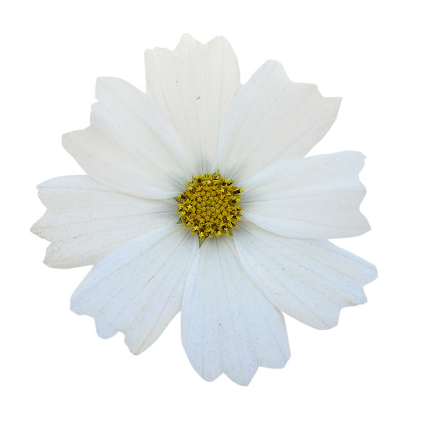 White flower: A plain white.