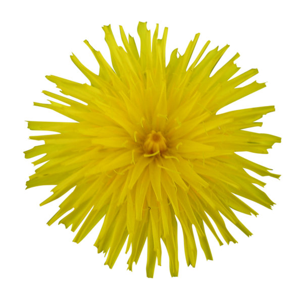 A yellow flower: Kind of dandelion.