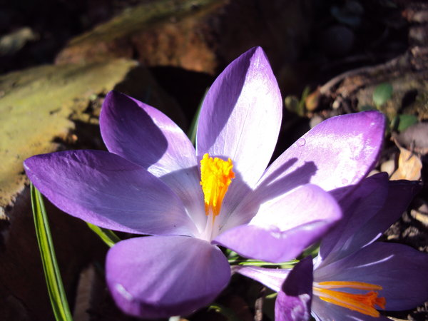 Purple crocus: Crocus in mid-day sun