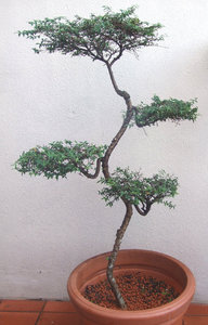 bonsai beauty