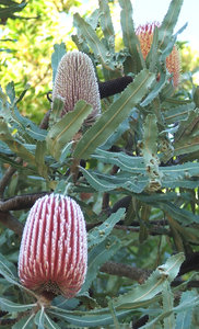 Banksia beauty: a variety of large Banksia tree flowers