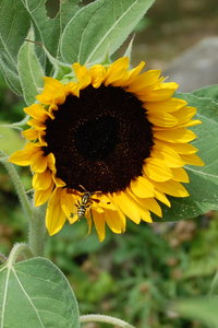 Sunflower with Wasp