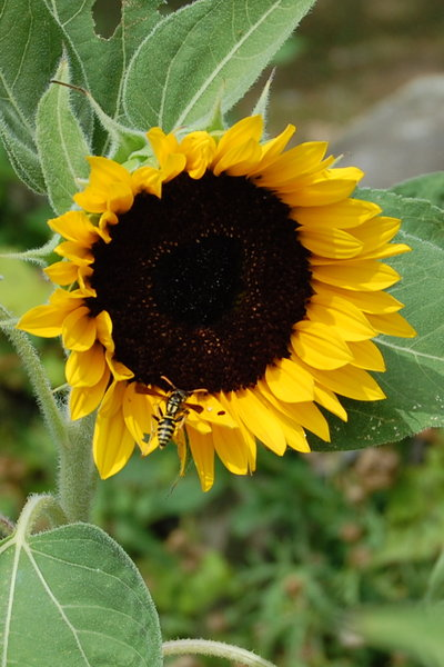 Sunflower with Wasp: A wasp resting on a sunflower. I've placed no restrictions on most of my photos, but I would really appreciate imput & comments! If it is possible to credit me, Christine Landis, please do.