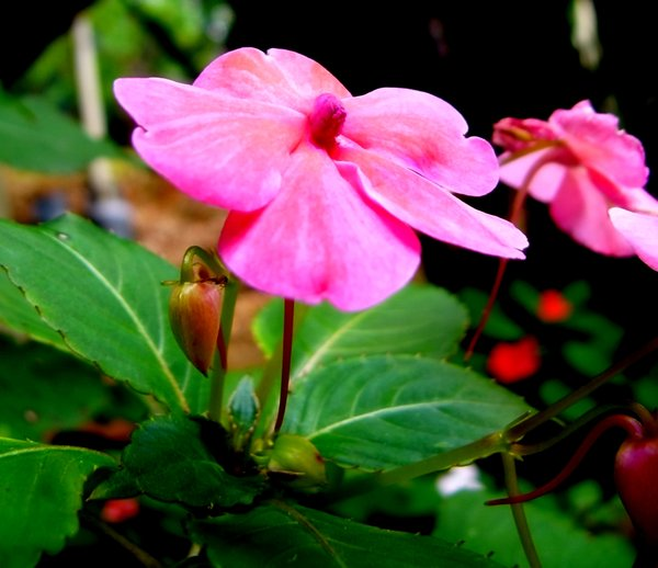 Pink Flower: Pink flower from my garden. You may prefer:  http://www.rgbstock.com/photo/pu1WCWQ/Pink+Bauhinias  or:  http://www.rgbstock.com/photo/nHP0muC/Rainbow+Dandelion