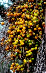 Palm tree fruits