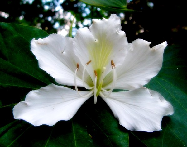 White Bauhinia: A white bauhinia flower. I have lots of these trees in my garden, both pink and white. They are beautiful when in full bloom.