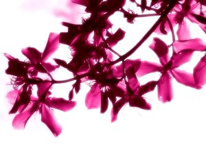 Romance: Blossoms partly sillouhetted against the sky, with a romantic, pink glow. Use within licence or contact me. You may prefer:  http://www.rgbstock.com/photo/oSOQ6fq/Rose+Dream+2  or:  http://www.rgbstock.com/photo/2dyVKPy/Hibiscus+-+Duotone