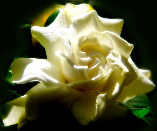 Morning Sun on Gardenia