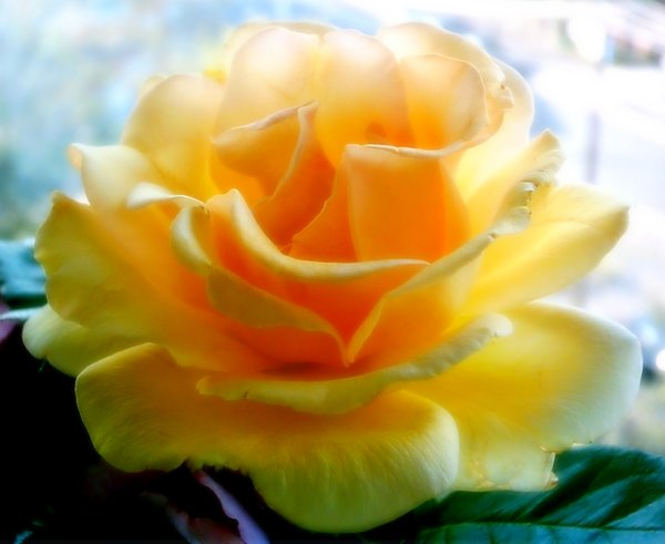 Big Yellow Rose 1