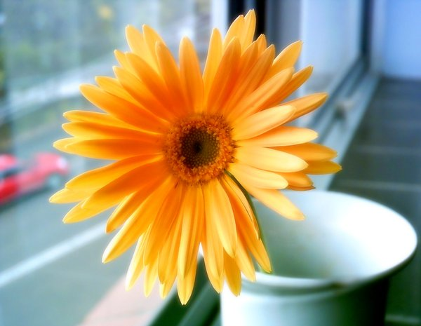 Happiness - Gerbera 1
